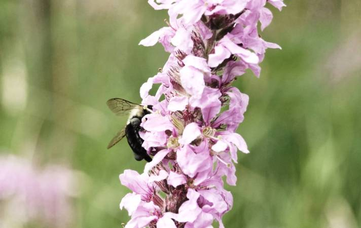 Bee in the Field